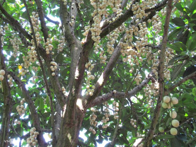 Dâu Hạ Châu chín có màu vàng nhạt, da căng mọng, vị ngọt thanh và hơi chua. Ảnh: Tương Tâm