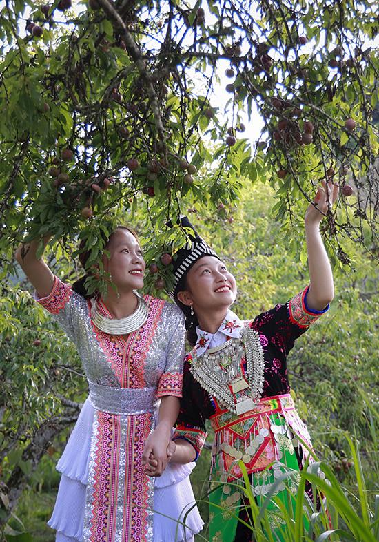 Thung lũng mận tam hoa ở Nghệ An vào vụ - 6