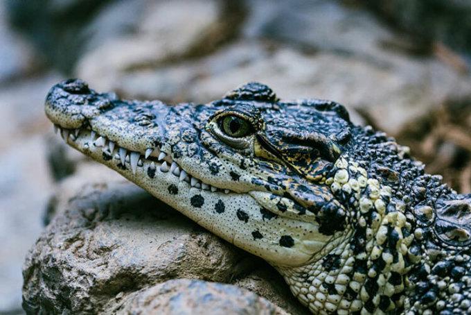 Vậy nếu bị cá sấu đuổi thì sao? Nhiều người đã nhắc đến truyền thuyết chạy theo hình zigzac để tránh cá sấu. Nhưng trên thực tế, bạn không phải tốn quá nhiều công sức như vậy. Cá sấu không thể chạy nhanh ở trên cạn như khi dưới nước, vận tốc của nó là 56km/h. Và khi bị cá sấu đuổi, hãy chạy cật lực. Một người có sức khỏe trung bình có thể chạy thoát khỏi sự đuổi theo của cá sấu.