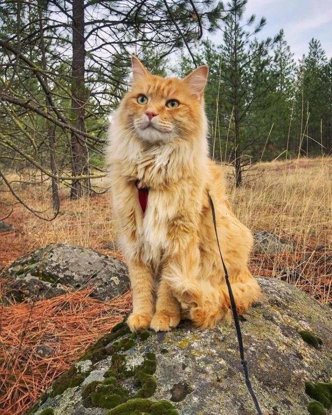 Mèo Leon đến từ MỹVào năm 2017, Megan Fernie đã tìm mua thú cưng trên Internet và bắt gặp một bức ảnh của Leon trên trang phúc lợi động vật hạt Spokane, bang Washington, Mỹ. Ngay lúc đó, cô gái nhận ra rằng con mèo này sẽ trở thành bạn của cô. Những chuyến đi của Leon bắt đầu bằng việc đi dạo ở sân sau, song nó nhanh chóng cảm thấy tự tin hơn trên đường phố nên Fernie quyết định đưa Leon đi dạo quanh sân golf trong nhà. Chia sẻ trên blog của mình, Fernie cho biết: Tôi hoàn toàn sốc với trải nghiệm này vì chưa bao giờ thấy ai dắt mèo đi dạo với dây xích. Tôi không thể tin rằng điều đó đã xảy ra. Sau đó, Fernie bắt đầu đưa Leon đi khắp nơi. Có lần, Leon còn được lướt sóng với bà chủ. Điều tuyệt vời nhất khi phiêu lưu cùng Leon là tôi đi bộ trong thiên nhiên nhiều hơn trước đây, Fernie chia sẻ. Ảnh: @leonadventurecat/Instagram