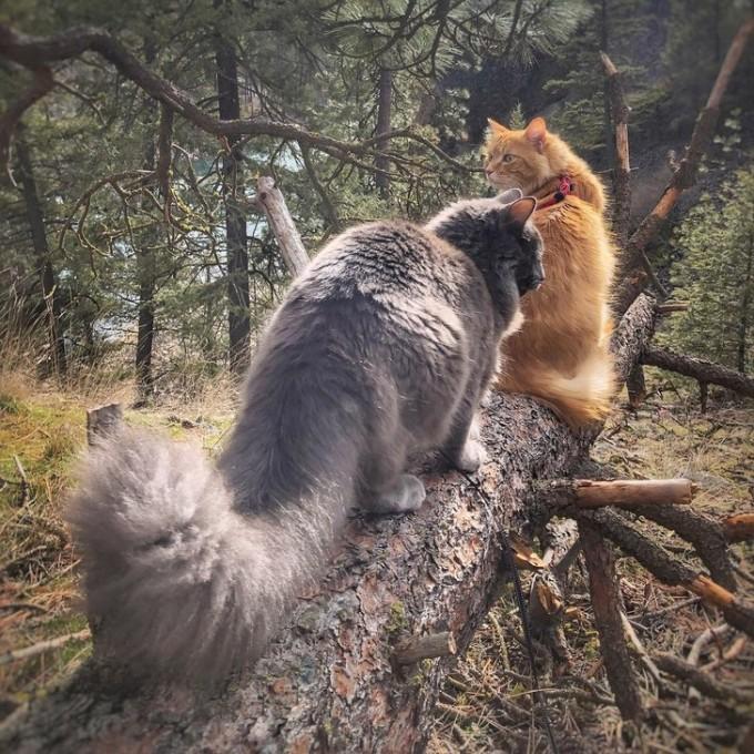 Chuyến du hành của Leon vẫn tiếp tục cho đến hiện tại. Năm 2020, Leon có thêm một người anh trai lông xám tên Arthur, được Fernie nhận từ trại mèo mồ côi. Những con mèo nhanh chóng tìm được ngôn ngữ chung và giờ dây, chúng cùng chủ nhân đi khắp nơi và truyền cảm hứng cho hơn 20.000 người theo dõi trên mạng xã hội. Ảnh: @leonadventurecat/Instagram