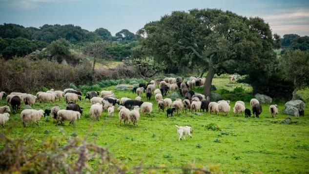 Những con cừu cho sữa để làm ra loại phô mai trứ danh. Ảnh: Alice Mastinu/CNN