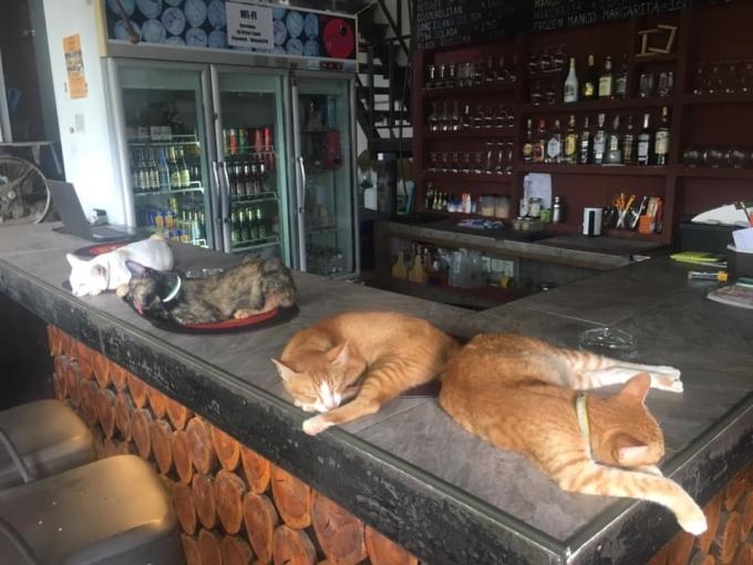 Những chú mèo nằm dài trên quầy bar.