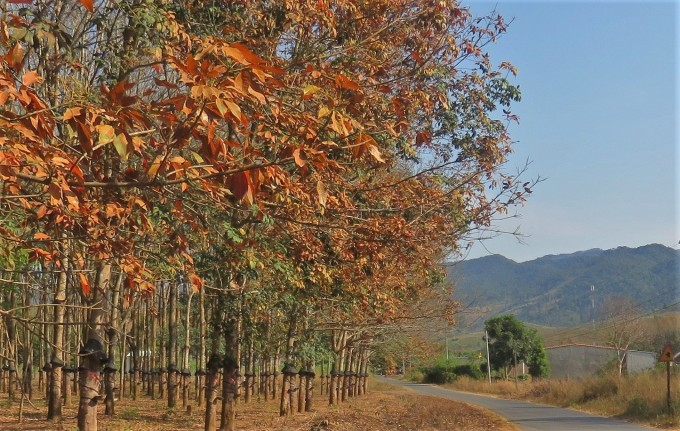 The rubber forest along the road is changing leaves, the scenery of Dak Ha is flooded with romantic orange.  Photo: Hang Vo