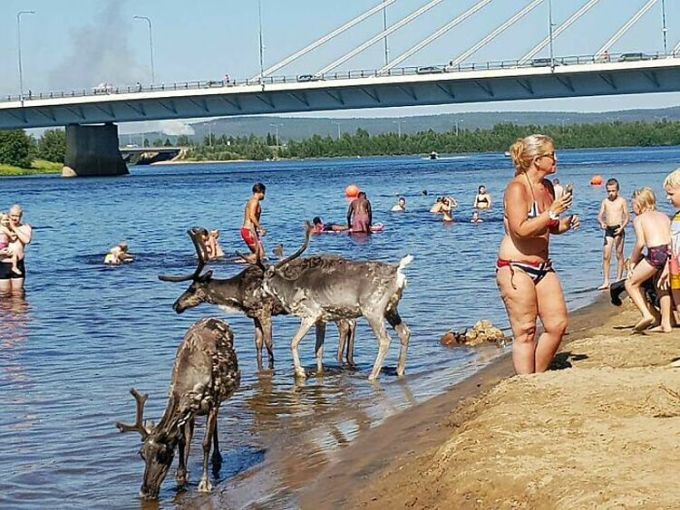 Còn nếu đi vào mùa hè, bạn sẽ có cơ hội bơi lội cùng những con tuần lộc - trợ thủ đắc lực của ông già Noel tại Rovaniemi. Ảnh: Reddit