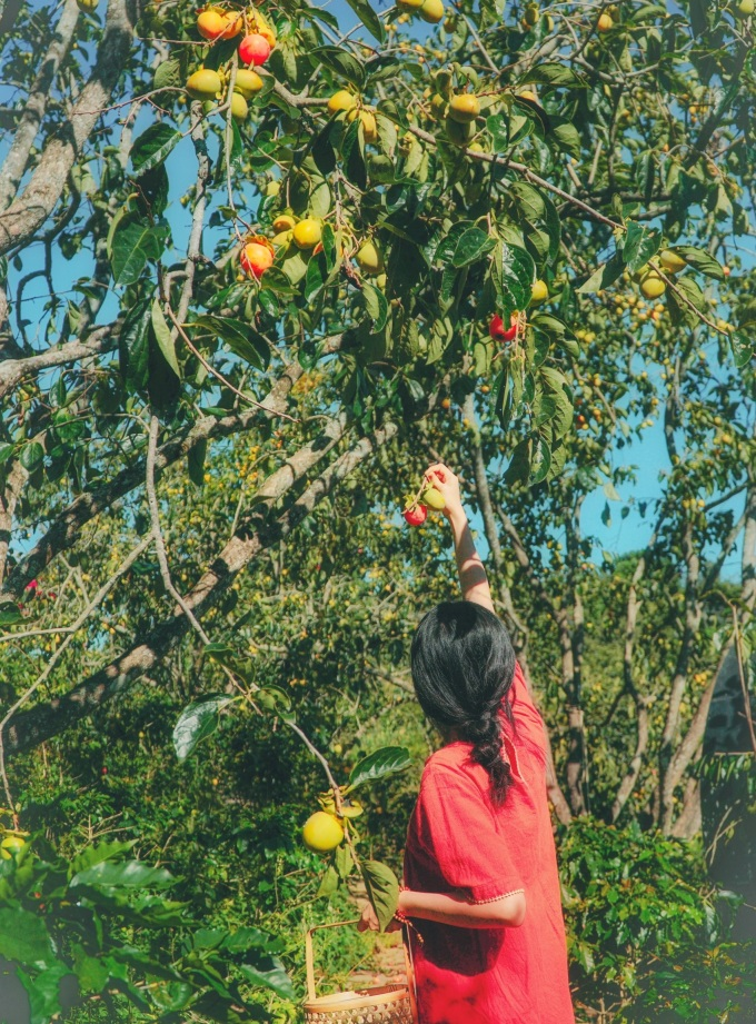 In the past, the Da Lat people did not know how to make persimmons hanging in the wind, the persimmons in the season depreciated, and when they were ripe, they filled the garden.  Now there are many ways to use and exploit ripe persimmons, so the price of persimmons is better, providing a stable basic income, she said.  If persimmons want to eat ripe fruit without acrid, they must choose soft red berries, thin skin, when biting, they will feel the sweet taste.  In addition, persimmons can be incubated in a rice bowl according to the traditional method so that the persimmons are ripe and red naturally, bringing a rich sweetness, but if they are kept with ice, they will have a light sweet taste when ripe.