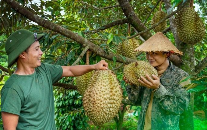 Hái sầu riêng tại vườn, chọn quả già, chuyển vàng sắp chín để nấu canh.