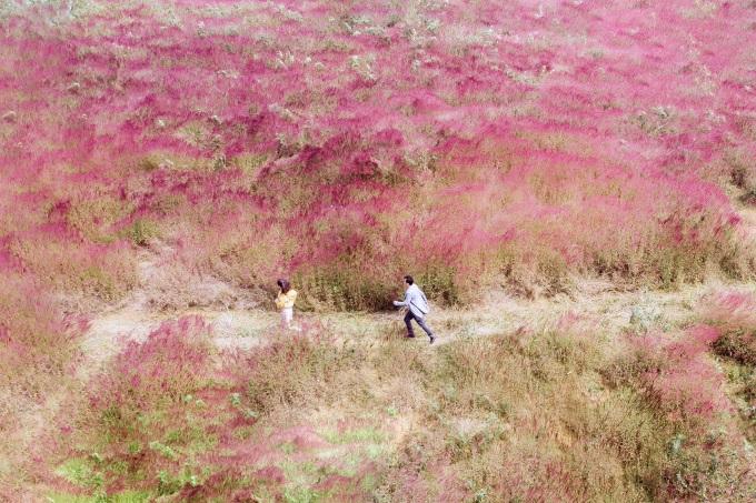 Đồi cỏ lau đỏ ở khu vực Hồ Tuyền Lâm như một bức tranh. Ảnh: Nguyễn Khắc Tùng